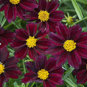 Vivaces Coreopsis Big Bang Mercury Rising rouge