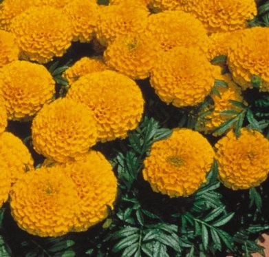 Annuelles Marigold Lady