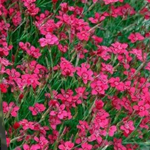 Vivaces Dianthus Flashing Light rouge foncé