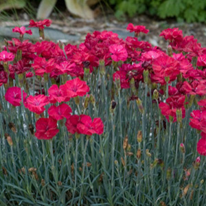 Vivaces Dianthus Frosty Fire rouge