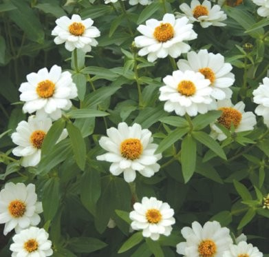 Annuelles Zinnia interspecific Profusion et Profusion Double