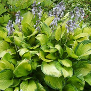 Vivaces Hosta Gold Standard