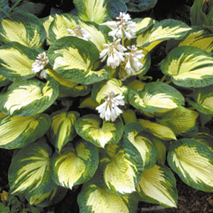 Vivaces Hosta Great Expectations