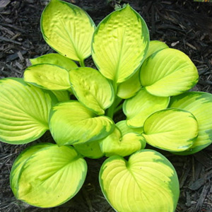 Vivaces Hosta Rainforest Sunrise