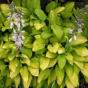 Vivaces Hosta Sum and Substance